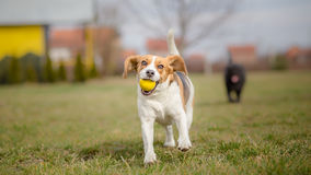 Dogs playing with ball. It's Springtime Royalty Free Stock Photography