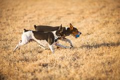 Dogs playing ball stock photos