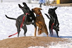 Dogs playing on baseball field. Three dogs playing on a baseball field in winter Royalty Free Stock Image