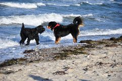 Dogs playing at the beach Stock Photography