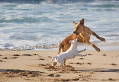 Dogs playing at the beach Royalty Free Stock Photos