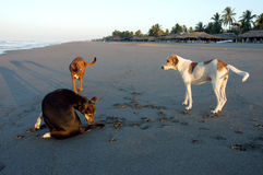 Dogs playing on beach Stock Photography