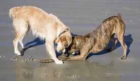 Dogs playing on beach Stock Images