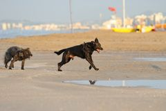Dogs. Playing on the beach stock image