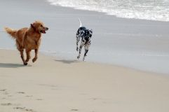 Dogs playing on beach. Golden retriever and dalmation dogs running free on dog beach, Huntington Beach, California Royalty Free Stock Photos