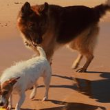 Dogs playing at. The beach Royalty Free Stock Image
