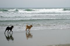 Dogs playing at the Beach (Good Harbor Beach, Gloucester, Massachusetts, USA / February 15, 2014) Stock Image