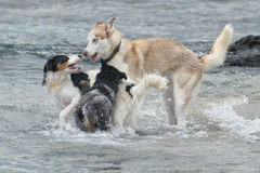 Dogs playing on the beach Stock Image