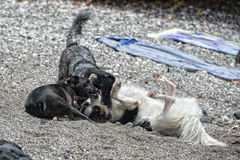 Dogs playing on the beach Stock Photography