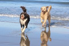 Dogs Playing at the Beach. Joy- Two dogs playing with a ball at the beach Stock Photos