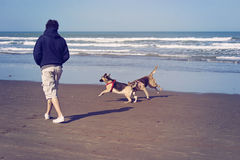 Dogs playing in the beach. Man with his dogs in a beach of Mar del Plata, argentina Royalty Free Stock Photos