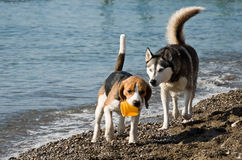 Dogs playing on beach Stock Photo
