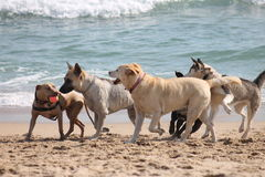 Dogs Playing at the Beach. This photo is of five dogs playing with only one ball at the beach Royalty Free Stock Image