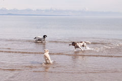 Dogs Playing on Beach with Stick royalty free stock photo