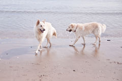 Dogs Playing on Beach Royalty Free Stock Photos