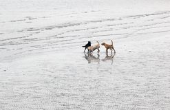 Dogs playing on the beach. Tai O. Hong Kong. Royalty Free Stock Photography