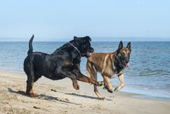 Dogs playing on the beach. Two happy dogs playing on the beach Royalty Free Stock Images