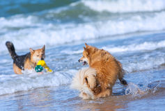 Dogs playing on the beach. Two dogs playing in the water on the beach Royalty Free Stock Photography