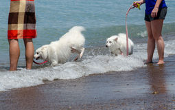 Dogs playing at the beach. Two white dogs happily frolic in the weaves with their wonderful owners Royalty Free Stock Photography