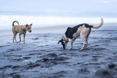 Dogs playing on the beach in Varkala. India stock image