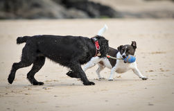 Dogs playing on beach. Young dogs playing with rope toy on beach in cornwall Stock Photos