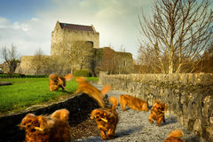 Dogs playing in the Castle grounds,Collage Stock Photo