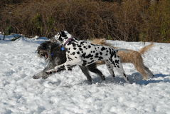 Dogs playing chasing in snow. Dalmation, schnauzer & wheaten terrier playing chasing in the snow Stock Photo