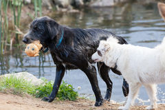 The dogs playing on coast of a reservoir Stock Photography