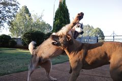 Dogs Playing With Each Other Husky Vs Rhodesian Ridgeback royalty free stock photography