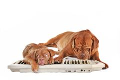 Dogs playing electrical piano Stock Images