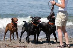 Dogs playing fetch at the beach. Three dogs waiting intently for owner to throw the stick Stock Photography