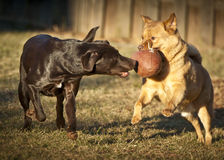 Dogs playing with football. Two dogs playing with football in the yard Stock Photo