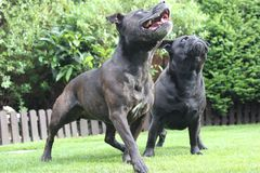 Dogs playing in a garden looking up Royalty Free Stock Image