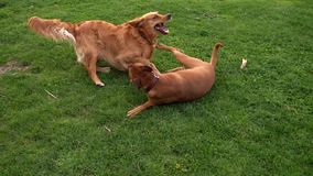 Dogs are Playing on Grass in Natural Park stock footage