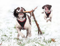 Free Dogs Playing In Snow Stock Images - 37744964