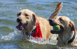 Dogs Playing in the Lake Stock Photo