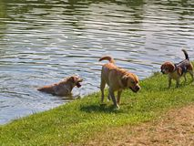 Dogs playing in the lake water when hot summer day stock photo