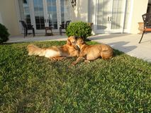 Dogs playing on lawn Royalty Free Stock Photos