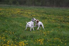 Dogs playing in meadow. English Pointer and Dalmatian dog playing in flowery countryside meadow Royalty Free Stock Images
