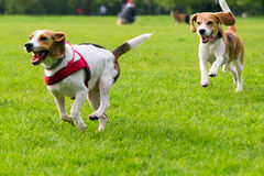 Dogs playing at park. Group of beautiful funny beagle dogs playing outdoors at spring or summer park Stock Images