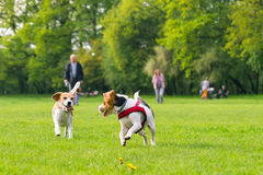 Dogs playing at park. Group of beautiful funny beagle dogs playing outdoors at spring or summer park Royalty Free Stock Photography