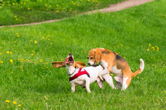 Dogs playing at park. Group of beautiful funny beagle dogs playing outdoors at spring or summer park Stock Photos