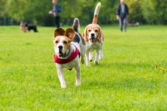 Dogs playing at park. Group of beautiful funny beagle dogs playing outdoors at spring or summer park Royalty Free Stock Photos