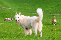 Dogs playing at park. Group of beautiful funny dogs playing outdoors at spring or summer park Stock Photography