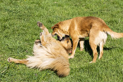 Dogs playing in the park Royalty Free Stock Photography
