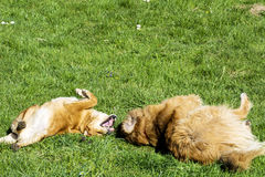 Dogs playing in the park Stock Photography