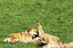 Dogs playing in the park Royalty Free Stock Photo