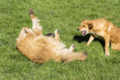Dogs playing in the park Stock Photo