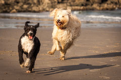 Dogs Playing Royalty Free Stock Photography