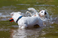 Dogs are playing in a river Royalty Free Stock Photography